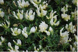 Το φυτό Astragalus angustifolius
